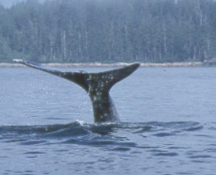 CERF whale